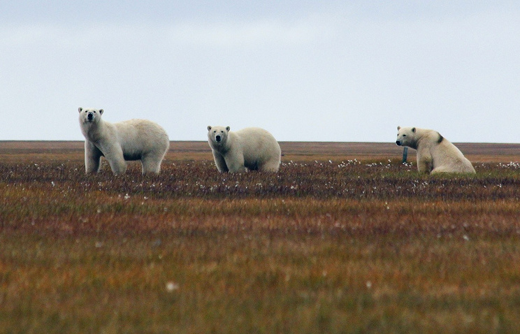 Белые медведи на острове Белый