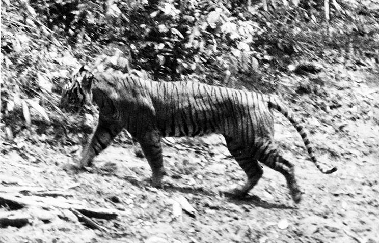Яванский тигр, 1938 год