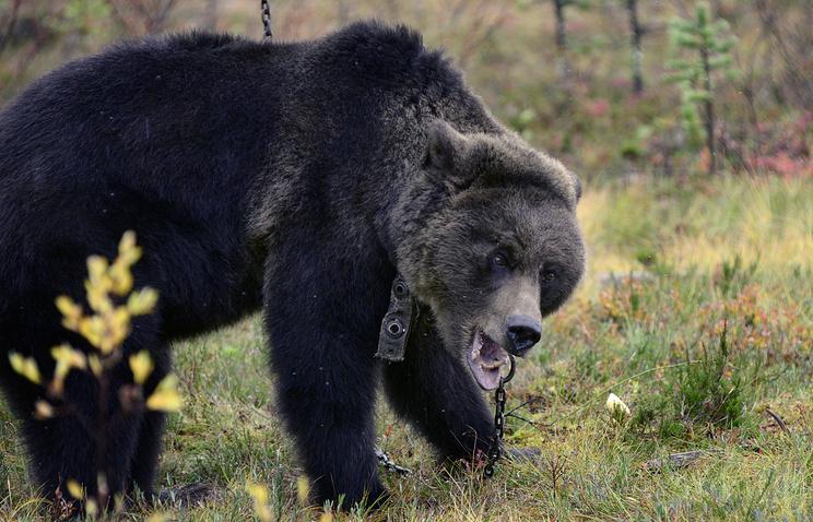 Мужчина, которого насевере Красноярского края ранил медведь, остался живой