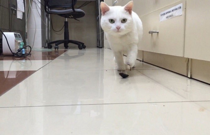 Новосибирскому коту вживили титановый протез лапы