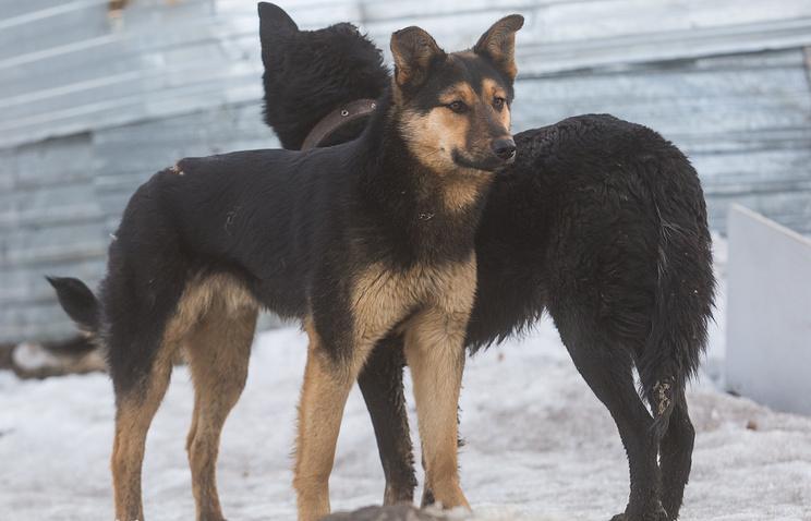 Сторожевые собаки загрызли 7-летнего ребенка под Челябинском