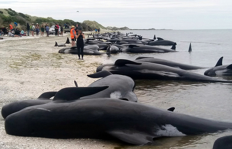 В новейшей Зеландии неменее 400 китов выбросились наберег