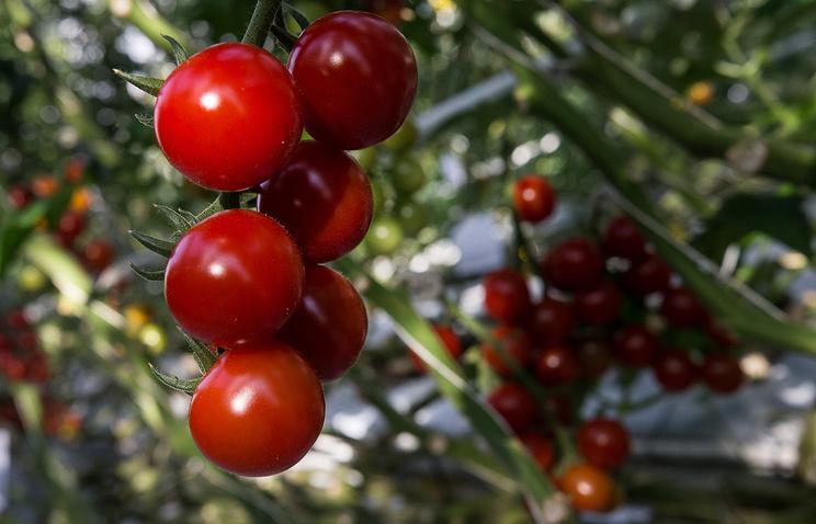 Эксперт: цена и качество позволят томатам из СКФО конкурировать с турецкими