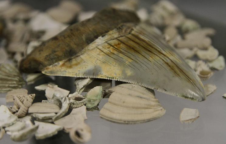 СМИ: на пляже в Австралии нашли зубы древнейшей гигантской акулы