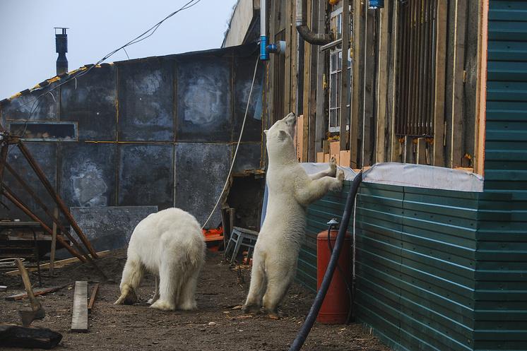 Белые медведи у опорного пункта национального парка Русская Арктика, Мыс Желания, Новая Земля