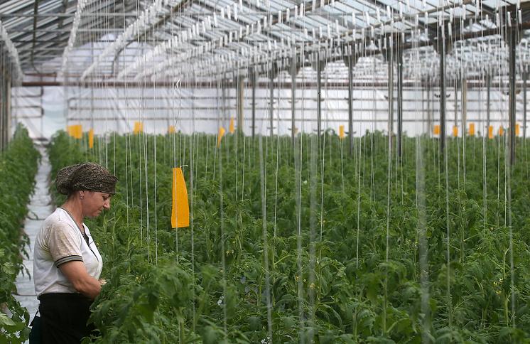 Выращивание томатов в Карачаево-Черкесии