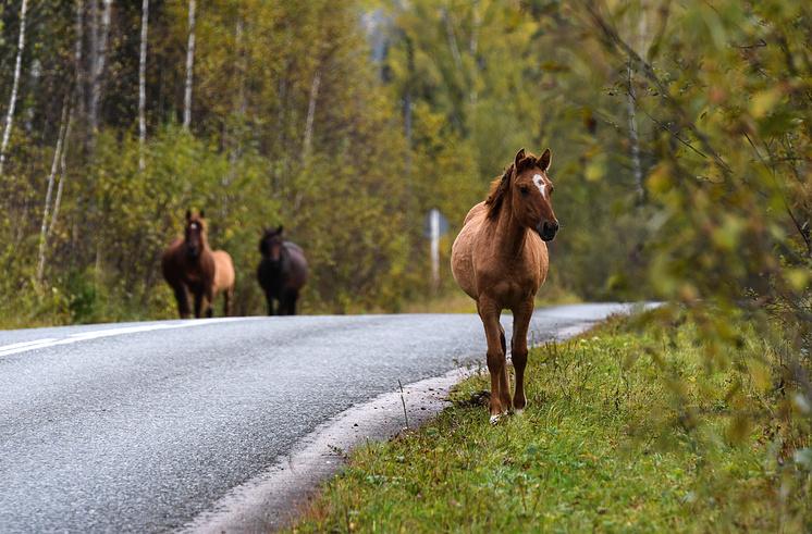 Лошади на автомобильной дороге в Чойском районе
